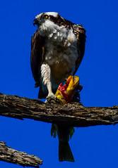 Osprey Fish Dinner, Part 2 (Daren Grilley) Tags: california beach fishing nikon hawk wildlife huntington raptor d850 prey