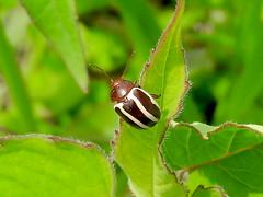 Regweed Leaf Beetle (d_taron) Tags: unitedstates illinois bluffspringfen beetles chrysomelidae chrysomelinae zygogramma zygogrammasuturalis