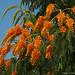 Colville's Glory (Colvillea racemosa)