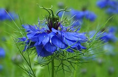 Nigella Sativa, love in a mist, cheveux de Vénus (Hottentotfig) Tags: ngc npc naturethroughthelens