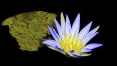 Flutuante Azul  //  Floating blue (Parchen) Tags: ninféiaazul lírio water nymphaeacaerulea blueegyptianwaterlily líriodágua ninféia planta aquática flor bela beleza bonita linda fundopreto fundoescuro contraste contrastante cor colorido foto fotografia imagem registro parchen carlosparchen cores azuleamarelo líriodaágua azuis azulado azulada natural natureza naturalmente silvestre