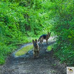 German Sherherd (Allevamento Casa Caligiani) Tags: germanshepherd pastoretedesco schäferhund gsd dog cane