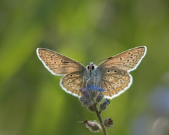 I see you...! (Emma Varley) Tags: butterfly commonblue underwing backlit sunshine may uk spring forgetmenot wildflower