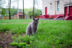 French cat sitting on the grass in the fresh air next to a brick building (ivan_volchek) Tags: adorable animal attractive beautiful beauty breed british cartesiancat cat chartreux cheerful curious cute domestic eye eyes feline fluffy french frolicsome funny fur garden grass gray grayblue green grey happy kitten kitty mammal outdoor pedigreed pet pets playful playing portrait pretty purebred scottish shorthair sitting surprised view young