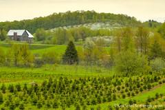Farmscape ... blossom time (Ken Scott) Tags: cherryblossoms orchard christmastreefarm leelanau michigan usa 2019 may spring 45thparallel hdr kenscott kenscottphotography kenscottphotographycom
