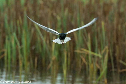 White-winged Tern - Bierbza Marshes - Poland CD5A2018