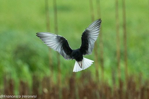 White-winged Tern - Bierbza Marshes - Poland CD5A2200