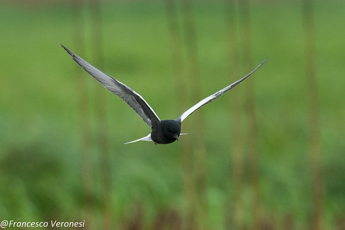 White-winged Tern - Bierbza Marshes - Poland CD5A2139