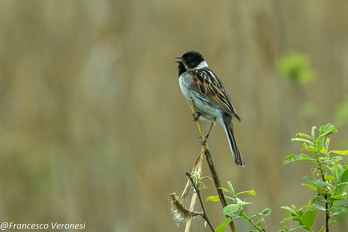 Reed Bunting - Bierbza Marshes - Poland CD5A3841