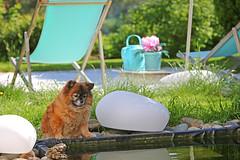 Guard (Leifskandsen) Tags: animal dog fifi garden pound water summer camera canon living leifskandsen skandsenimages scandinavia skandsen norway nature
