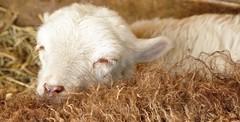 Mom I'm so tired (wilma HW61) Tags: lam lamb agnello agneau zoogdier mammifère mammifero mammal dier animal animale animaux beast portret portrait closeup natuur nature natur naturaleza nederland niederlande netherlands nikond90 holland holanda paysbas paesibassi paísesbajos europa europe outdoor wilmahw61 wilmawesterhoud