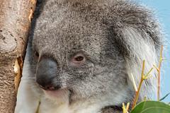 Southern Koala Bear, Longleat Safari Park (jim_2wilson) Tags: koalabear longleatsafaripark longleat jimwilson sonya77 sony70400mmssmii marsupial australia herbivore