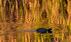 Coot on gold (Julie Holland photography) Tags: australia albany albanywesternaustralia avian avianphotography australianbird coot bird birdwatcher birdwatching birdlife birds beautiful beautifullight canon7dmark2