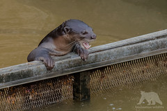 Smooth-coated Otter (fascinationwildlife) Tags: animal mammal wild wildlife wildlifephotography nature natur naturephotography photography water playing smooth coated otter fischotter glanzfellotter asia asien singapore singapur city urban canal playful tiere