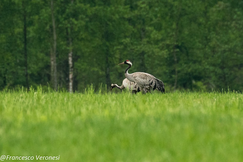 Common Cranes - Bierbza Marsh - Poland CD5A2624