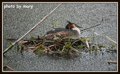 Great crested grebe  (4) (maryimackins) Tags: great crested grebe rain nest wildlife spring mary mackins hever