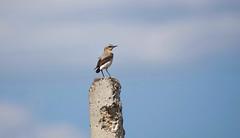 Northern Wheatear (Oenanthe oenanthe) (Kremlken) Tags: oenantheoenanthe wheatears moldovan birds birding birdwatching nikon500