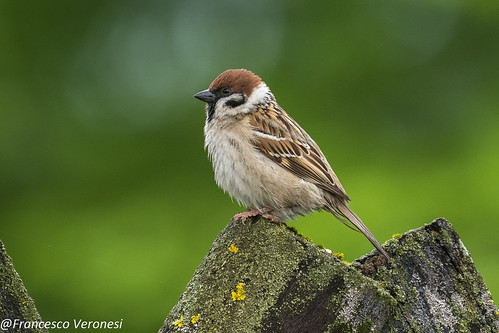 Eurasian Tree Sparrow - Bierbza Marsh - Poland CD5A2258