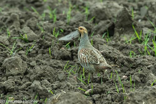 Gray Partridge - Bierbza Marsh - Poland CD5A1704