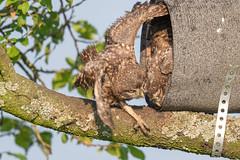 Project 2019 - little owls (eric-d at gmx.net) Tags: littleowl athenenoctua steinkauz owl strigidae eric