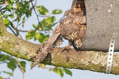 Project 2019 - little owls (eric-d at gmx.net) Tags: littleowl athenenoctua steinkauz owl strigidae
