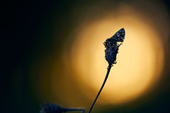 Kleiner Würfeldickkopf (generalstussner) Tags: makro macro closeup lichtstimmung abendlicht spotlight bokeh canon nature natur wildlife butterfly schmetterling pyrgusmalvae