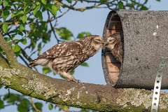 Project 2019 - little owls (eric-d at gmx.net) Tags: littleowl athenenoctua steinkauz owl strigidae eric