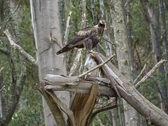 Wedgetail Eagle Standing (edgetas.com - tasview.com) Tags: wedgetaileagle wedgetailed wedgetail eagle tasmania australia edgetas tasview