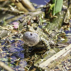 Vocal Toad (chauvin.bill) Tags: toad tamron americantoad