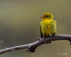 All Wet (craig goettsch - out shooting) Tags: western tanager female bird avian colorado wildlife yellow rain wet texture nikon d850
