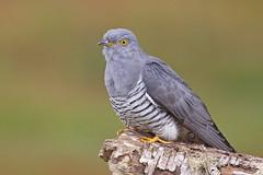 Cuckoo (JaneTurner68) Tags: cuckoo bird canon1dmkiv canon100400mmmkiilens canon