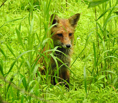 Red Fox - Watching Squirrels From the Tall Grass (annette.allor) Tags: mr tod wildlife grass nature stalking vulpes rain wet mammal animal