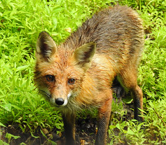 A Very Wet Red Fox (annette.allor) Tags: vulpes red fox wet rain wildlife nature grass mr tod