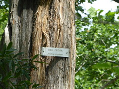 Red Cedar last surviving tree P1030676 (msjennywu) Tags: may272019 monticello