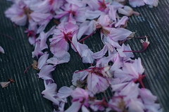 Too late (Krystian38) Tags: spring flower flowers prunus serrulata garden nature pentax k50 pink