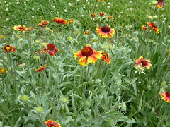 Blanket flower P1030679 (msjennywu) Tags: may272019 monticello