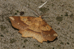 Deep Yellow Euchlaena - Euchlaena amoenaria - Adams County, Ohio, USA - May 17, 2019 (mango verde) Tags: deepyelloweuchlaena euchlaenaamoenaria geometridae geometridmoths euchlaena amoenaria moth light adamscounty ohio usa mangoverde