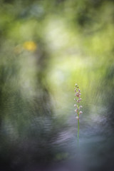 Orchis anthropophora (Thomas Vanderheyden) Tags: orchisanthropophora orchis orchidee flora flore fleur flower nature naturesfinest beautifulearth ngc bokeh samyang135mm fujifilm xt1 thomasvanderheyden colors couleur macro proxi