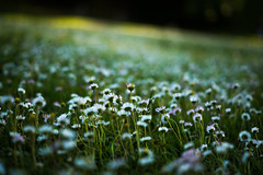where the speechless unite in a silent accord IV [explored] (culuthilwen) Tags: sonya99 sonyalpha99 sonysti sony50mmf18 sony50mm fullframe 50mm 50mmf18 daisies light meadows dof green white spring grass bokeh blurry nature flowers