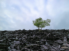 'Nature finds a way' (Timster1973 - thanks for the 16 million views!) Tags: nature tree dinorwic north wales welsh tim knifton timster1973 land landscape slate quarry northwales uk dinorwicslatequarry slatequarry industrial abandoned shelf abandon derelict industry industrialdecay
