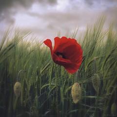 First Poppy (M a r i k o) Tags: iphone iphonex iphoneography iphonephotography mobile mobilephotography mariko square poppy flower mohn blume mohnblume red grass barley gerste field feld hipstamatic