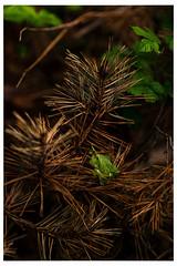 Fallen Pine (jphowley12) Tags: pine uk nikond750 leaf 850mm lincolnshire spring