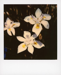 Hollywood Spring - White Irises (tobysx70) Tags: color polaroid originals 600 california ca toby white plant flower film yellow drive la los spring purple angeles bokeh canyon petal hills hollywood instant hancock slr680 irises perennial beachwood iridaceae iris