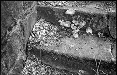old concrete steps, emerging plant forms, dried leaves and twigs, Asheville, NC, Voigtlander Vitomatic II, Derev Pan 400, HC-110 developer, 5.25.19 (steve aimone) Tags: steps concrete indecay crumbling plantforms driedleaves twigs asheville northcarolina voigtlander voigtlandervitomaticii vitomatic derevpan400 hc110developer blackandwhite monochrome monochromatic 35mm 35mmfilm film