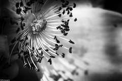 spring b&w #3 (fhenkemeyer) Tags: rose blossom flower nature bw macro shadows