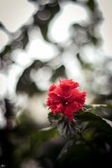 Hoa dâm bụt (Hibiscus) (luongsangit58) Tags: fujifilm minolta flower hoa fujifilmxt10 fuji