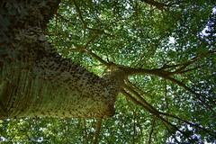 (volatila) Tags: árboles árbol verde arbbolborracho timidez argentina entrerios parana paraná entre ríos