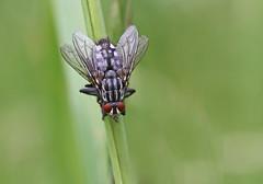 Flesh Fly - Michael Bird (Just call me Doc) Tags: fleshfly sarcophagidae flies macro michaelbird corbettsmeadow attenboroughnaturereserve nottinghamshire canon 100mm f28l 6d