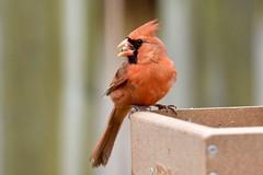 Northern Cardinal (male) (Linda Ramsey) Tags: outdoors nature birds spring may ontario backyard bird red cardinal northerncardinal