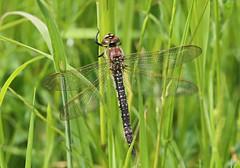 Hairy Hawker - Michael Bird (Just call me Doc) Tags: brachytronpratense female hairyhawker dragonfly dragonflies odonata corbetsmeadow attenboroughnaturereserve nottinghamshire michaelbird canon macro 6d 100mm f28l